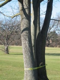 A tree marked for cutting